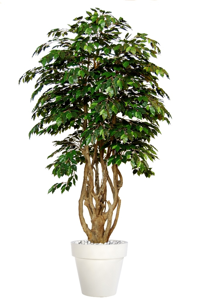 Ficus Exotica Malabar Lux